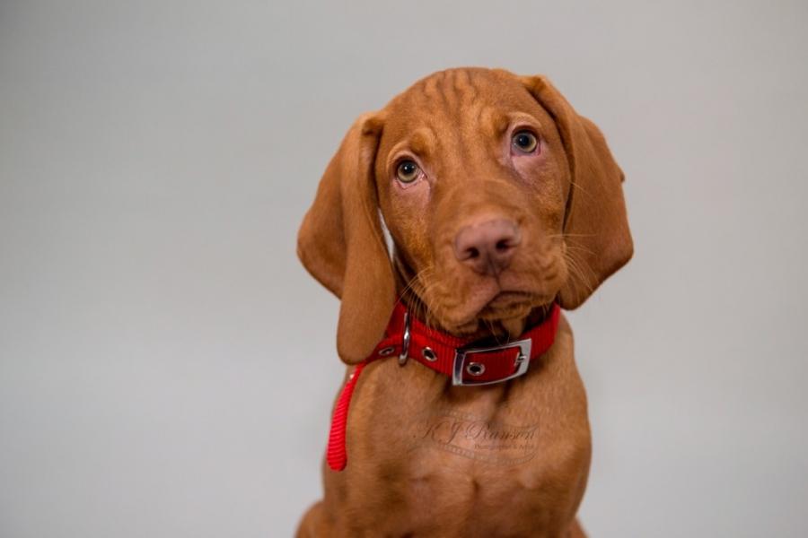 Hungarian Vizsla puppy...