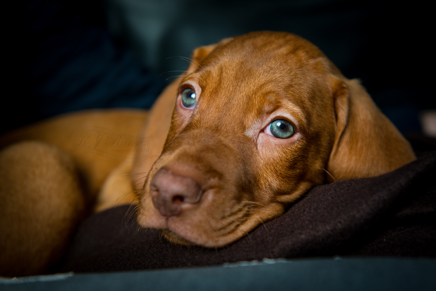 Hungarian Vizsla Rescue Dog